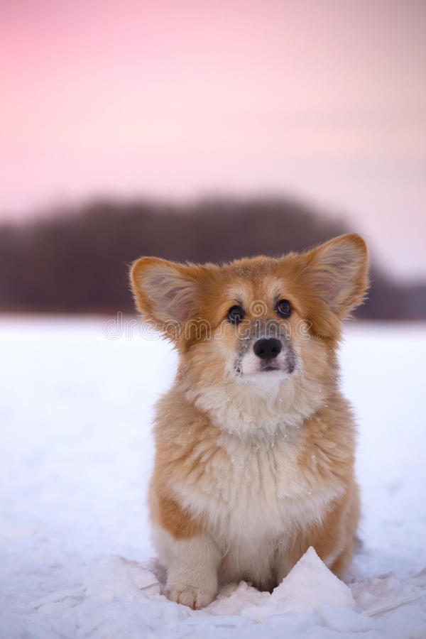 Corgi fluffy puppy portrait. Little cute corgi fluffy puppy at the outdoor close up portrait in winter day in sunset time royalty free stock photo