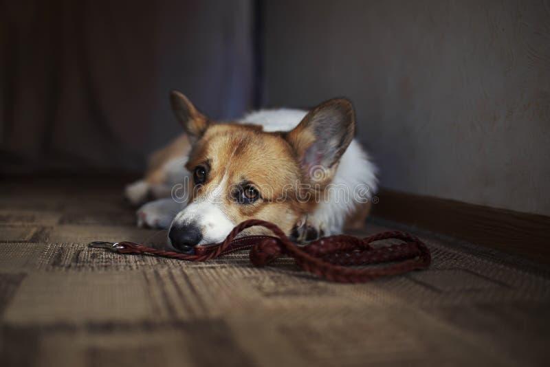 Corgi-hondenpuppy ligt op de vloer in een huis vlakbij met leash en hij kijkt diep verdrietig naar de eigenaar in afwachting van  royalty-vrije stock fotografie
