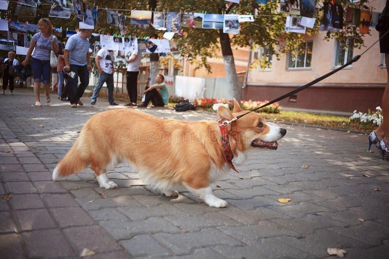 Corgi kleine hond stock afbeelding
