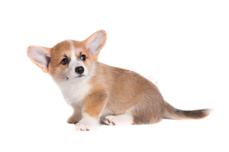 Corgi lindo del perrito aislado foto de archivo