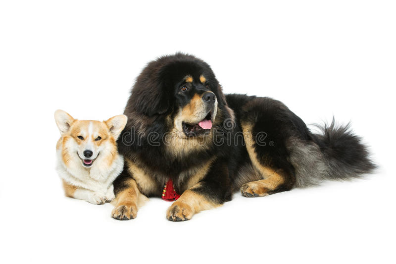 Corgi and mastiff dogs. Beautiful adult welsh pembroke corgi and Tibetan mastiff dogs lying. over white background. Copy space royalty free stock photography