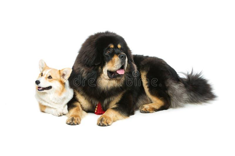 Corgi and mastiff dogs. Beautiful adult welsh pembroke corgi and Tibetan mastiff dogs lying. over white background. Copy space stock photo