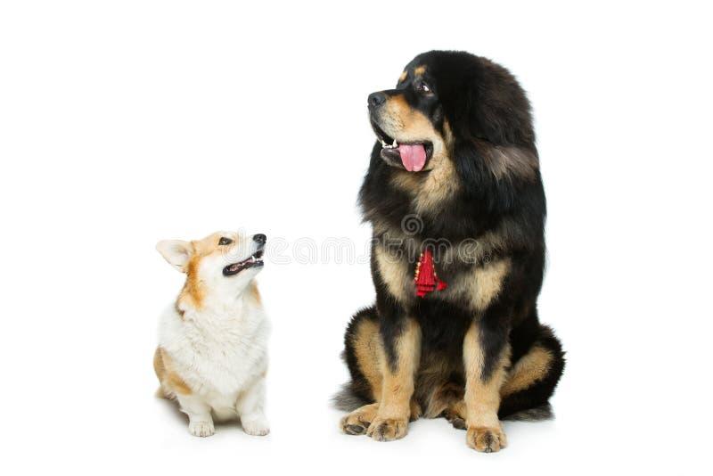 Corgi and mastiff dogs. Beautiful adult welsh pembroke corgi and Tibetan mastiff dogs sitting. over white background. Copy space stock photo