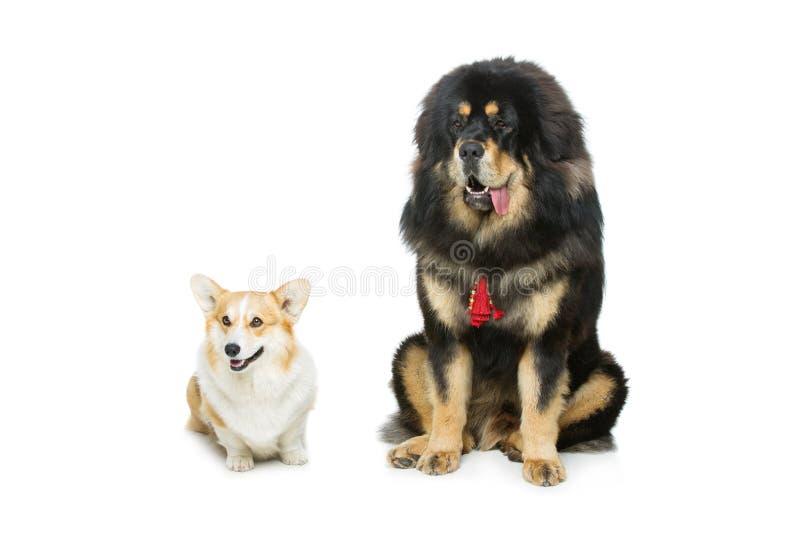 Corgi and mastiff dogs. Beautiful adult welsh pembroke corgi and Tibetan mastiff dogs sitting. over white background. Copy space royalty free stock image