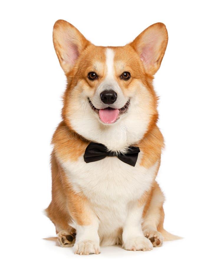 Corgi Pembroke Dog Isolated de Galês no fundo branco imagens de stock