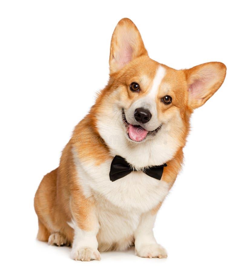 Corgi Pembroke Dog Isolated de Galês no fundo branco fotos de stock royalty free