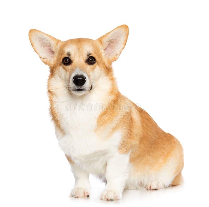 Corgi Pembroke Dog Isolated de Galês no fundo branco fotografia de stock