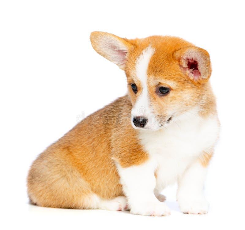 Corgi Pembroke Puppy Dog Isolated de Galês no fundo preto imagens de stock