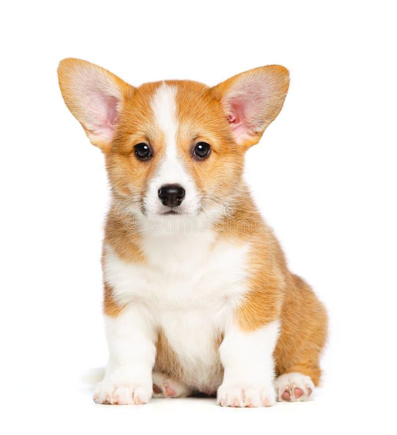 Corgi Pembroke Puppy Dog Isolated de Galês no fundo preto imagens de stock royalty free