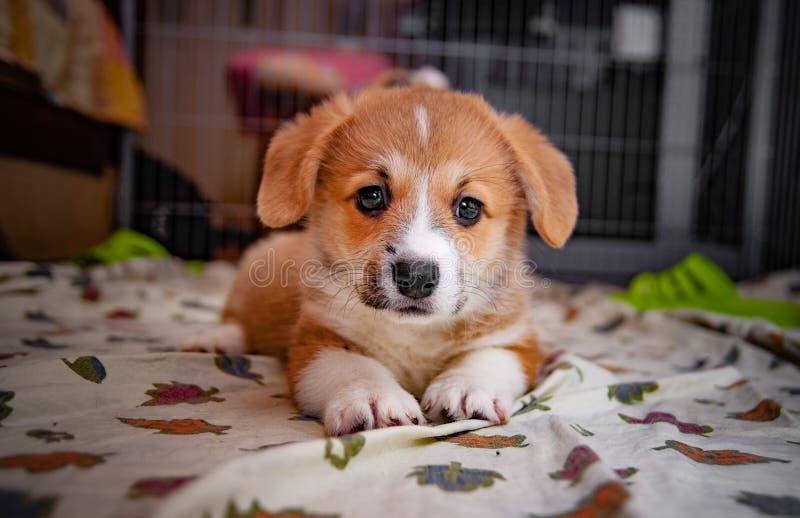 Corgi pembroke puppy stock photo