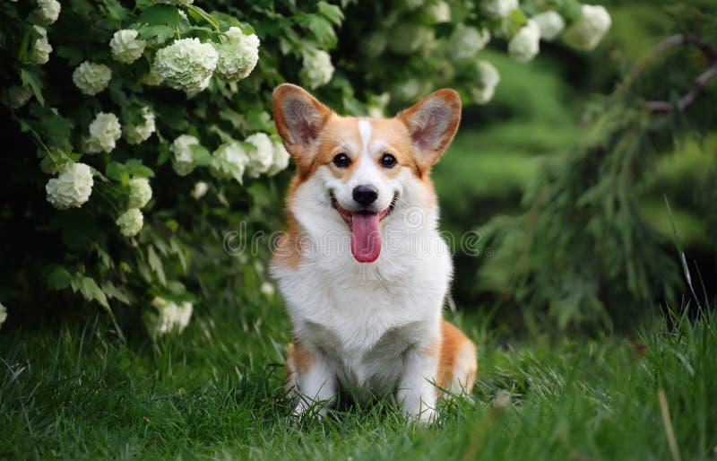 Dog corgi pembroke on grass. Welsh corgi pembroke. Butiful dog royalty free stock photo