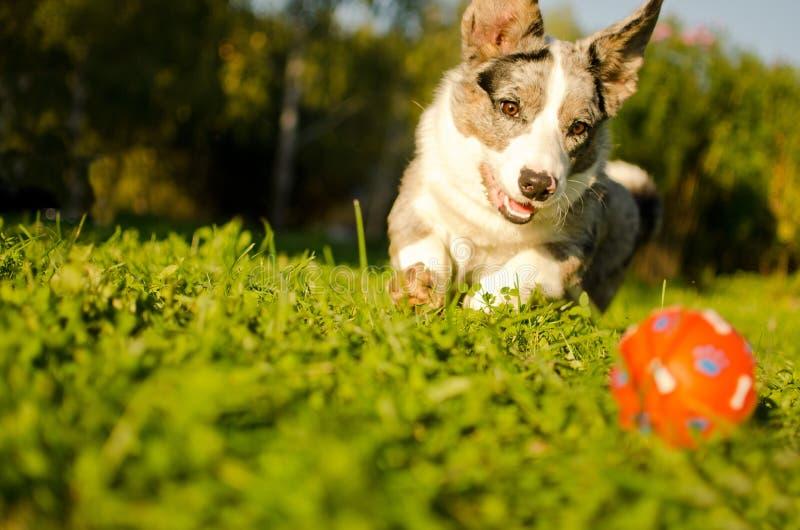 Corgi pies bawić się obrazy stock