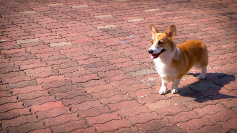 Corgi pies na ceglanej podłoga fotografia stock