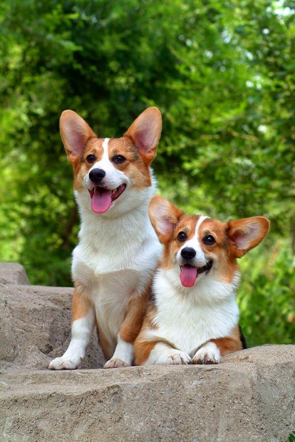 corgi psy zdjęcie stock