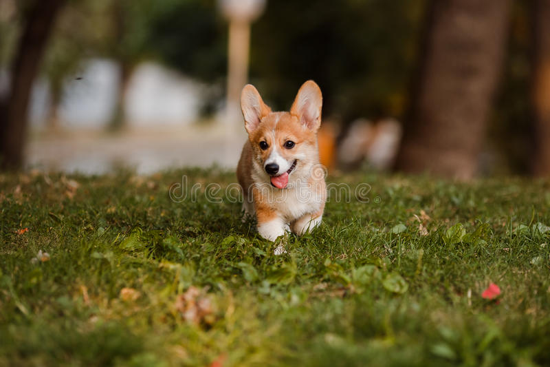 Corgi puppy royalty free stock photos