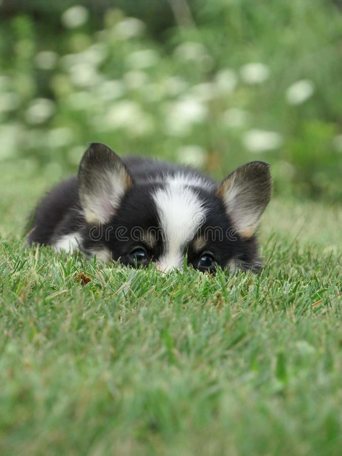 Corgi puppy. Sneaky pup puppies Pembroke Welsh Corgis stock photo