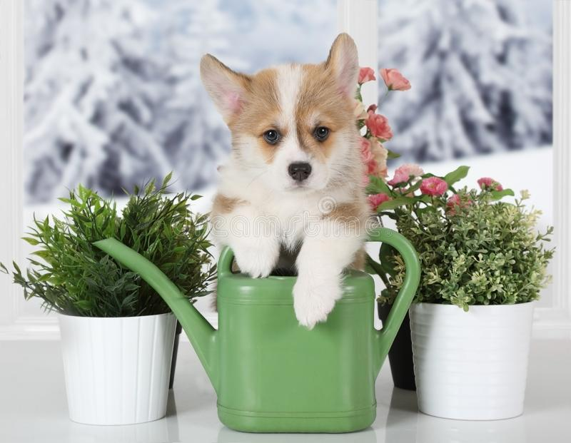 Corgi puppy with watering can for watering flowers. Little Welsh Corgi Pembroke puppy with watering can for watering flowers royalty free stock image