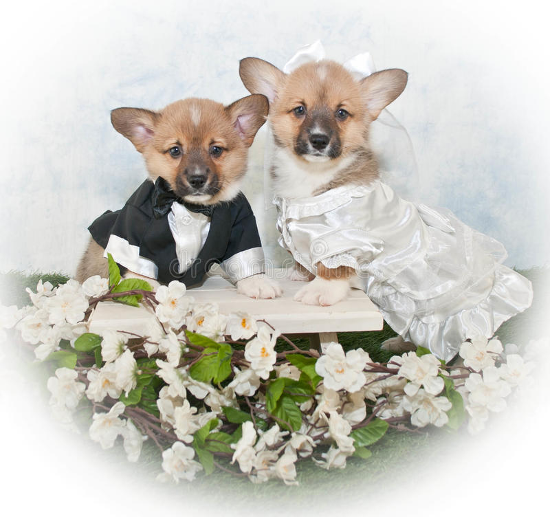 Corgi szczeniaka ślub obraz stock