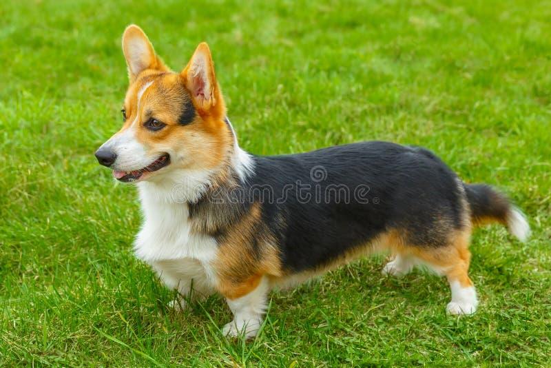 Corgi van hondpembroke welsh het glimlachen stock foto's