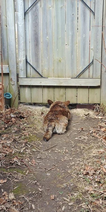 Corgihond die op buren onder de poort spioneren stock foto