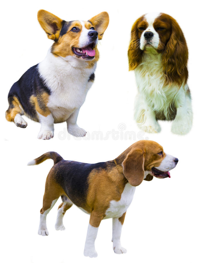 Corgihund på vit bakgrund stolt charles konungspaniel Var arkivfoton