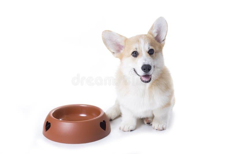 Corgihund sitzt nahe einer großen leeren Hundefutterschüssel stockbild