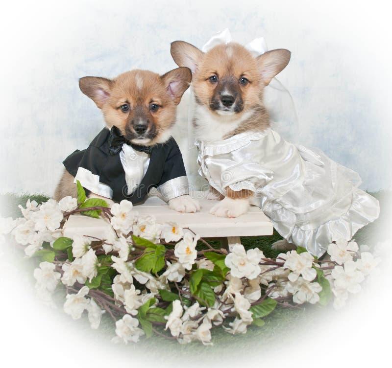 Corgivalpbröllop fotografering för bildbyråer