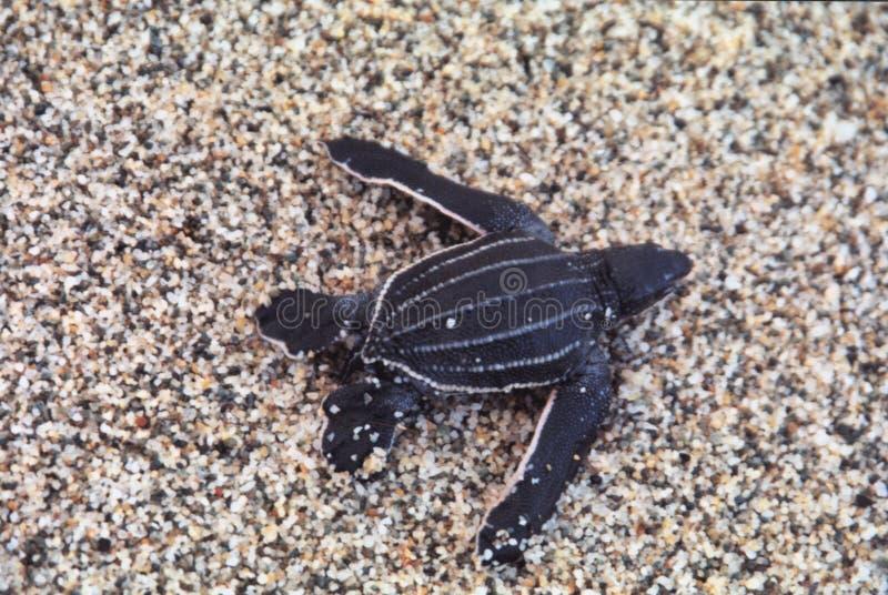 Coriacea van de zeeschildpaddermochelys van babyleatherback in Cipara-strand, Venezuela onlangs wordt uitgebroed dat royalty-vrije stock foto's