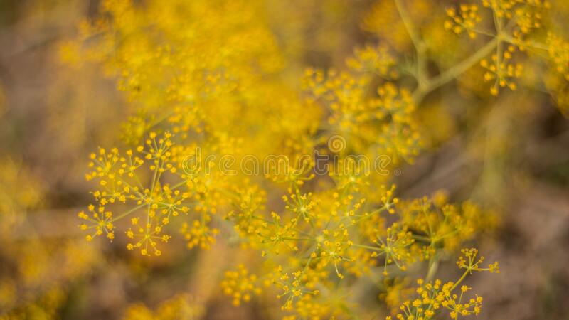 Coriander flowers in garden royalty free stock images