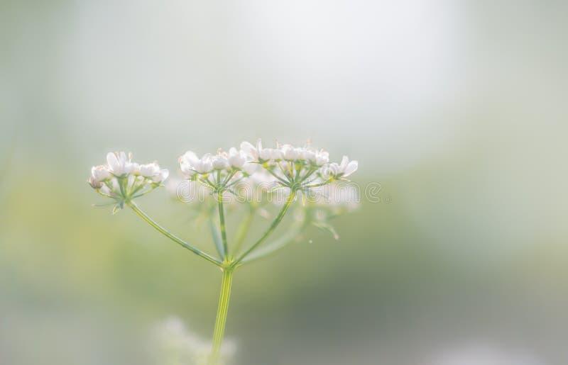 Coriander flowers in the light of June stock photos