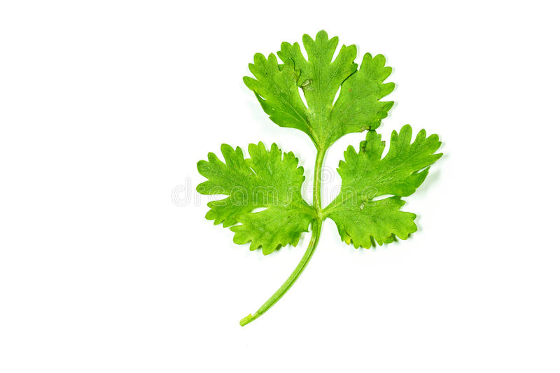 Coriander leaf isolated stock photo