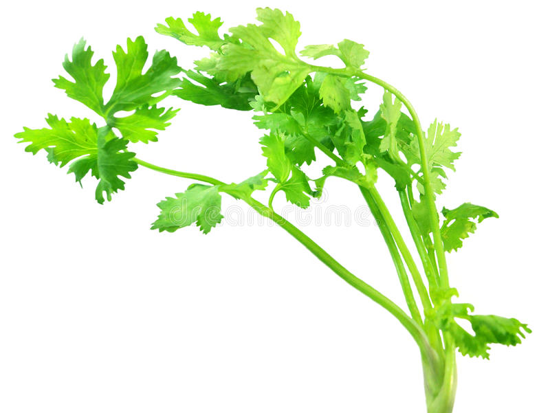Coriander Leaves Royalty Free Stock Image