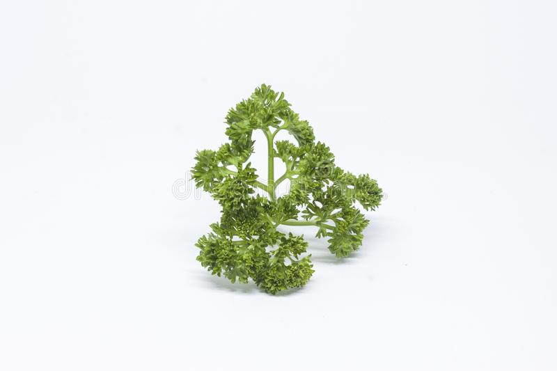 Coriander leaves to be food ingredients stock image