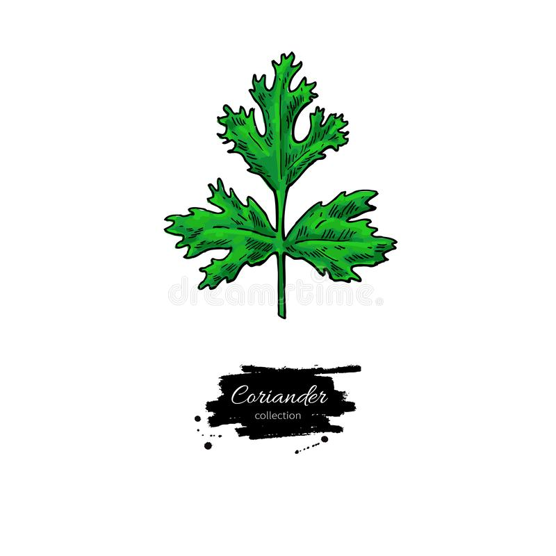 Coriander plant vector hand drawn illustration. Isolated spice object. Colorful seasoning. Detailed organic product sketch. Cooking flavor ingredient. Great stock illustration