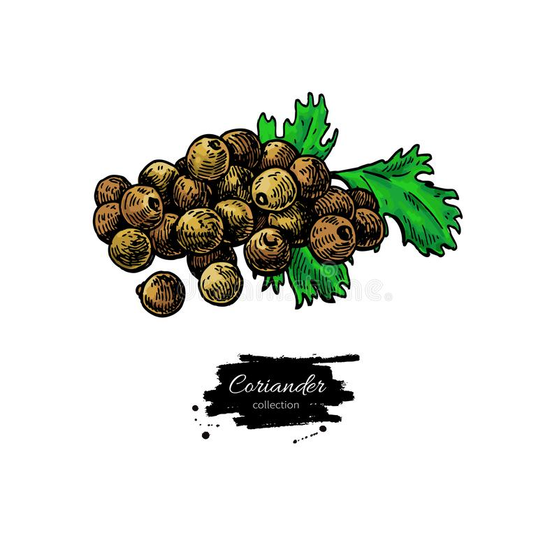 Coriander seed heap vector hand drawn illustration. Isolated spice object. Colorful  seasoning. Detailed organic product sketch. Cooking flavor ingredient stock illustration