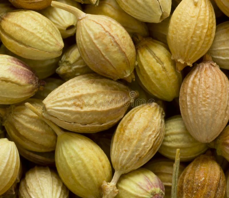 Download Coriander seeds stock photo. Image of uncooked, ingredient - 24111922