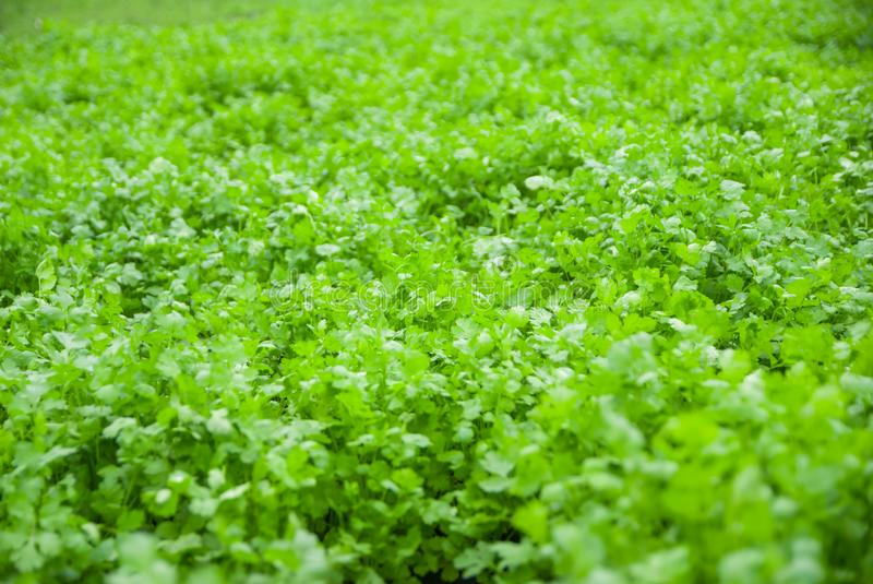 Coriander Thailand, Coriander in Thailand, Coriander in asian stock photo