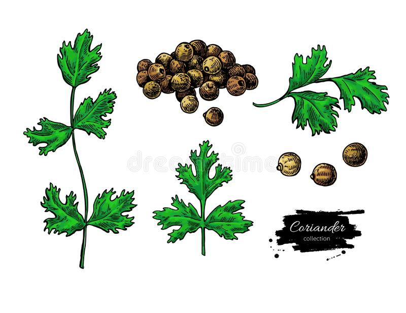 Coriander vector hand drawn illustration set. Isolated spice object. Colorful seasoning. Detailed organic product sketch. Cooking flavor ingredient. Great for royalty free illustration