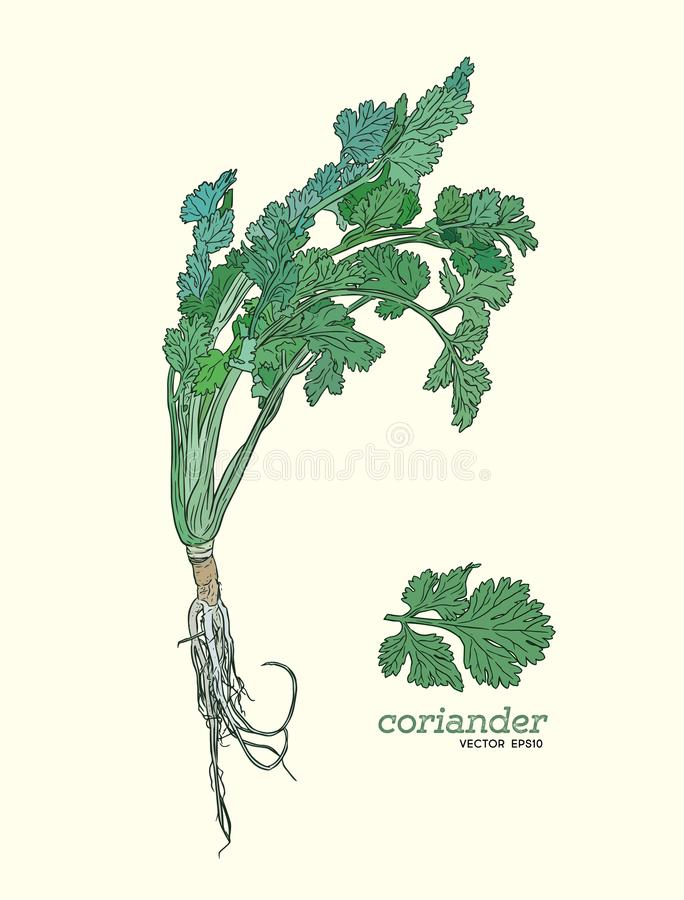 Coriander vector hand drawn illustration set. Isolated spice object. Engraved style seasoning. Detailed organic product sketch. Cooking flavor ingredient royalty free illustration