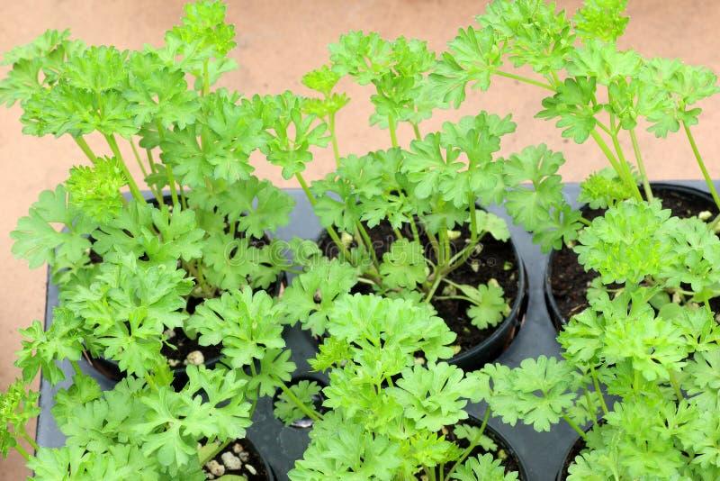 Coriandolo fresco delle foglie anche conosciuto come coriandolo o prezzemolo cinese fotografia stock libera da diritti