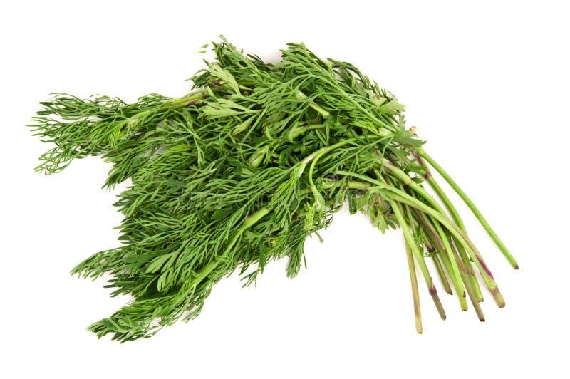 Coriandolo o cilantro fotografia stock
