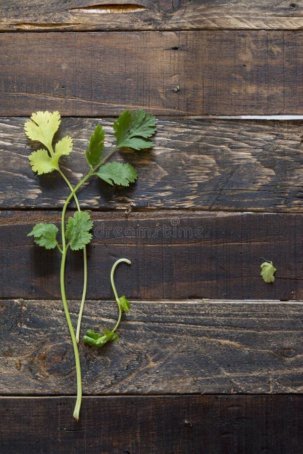 Coriandolo o coriandolo fresco su fondo di legno fotografia stock libera da diritti