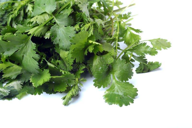 Coriandolo verde fresco, foglie del coriandolo isolate su fondo bianco fotografia stock