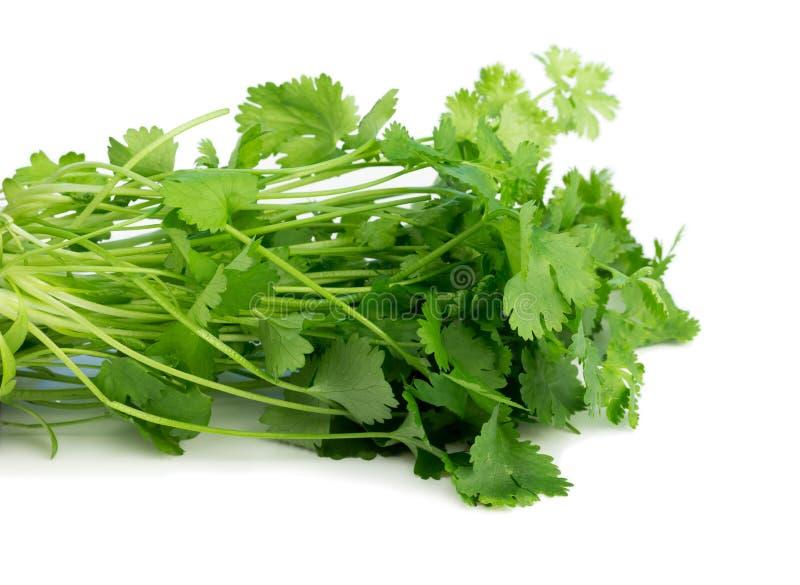 Coriandre, également connue sous le nom de cilantro, d'isolement sur le blanc photographie stock libre de droits