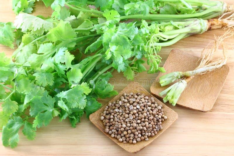 Coriandre, cilantro, avec des racines et des graines images stock