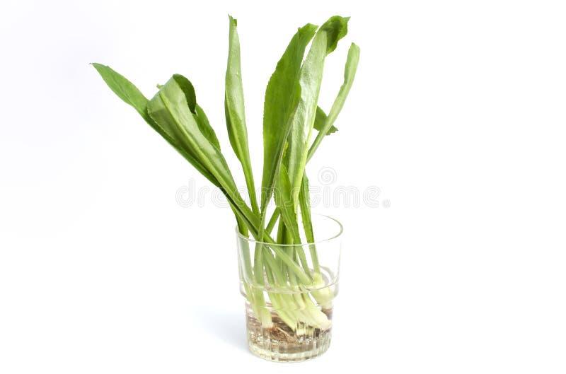 Coriandre fraîche de dent de scie de cilantro - foetidum d'Eryngium sur le fond blanc image stock