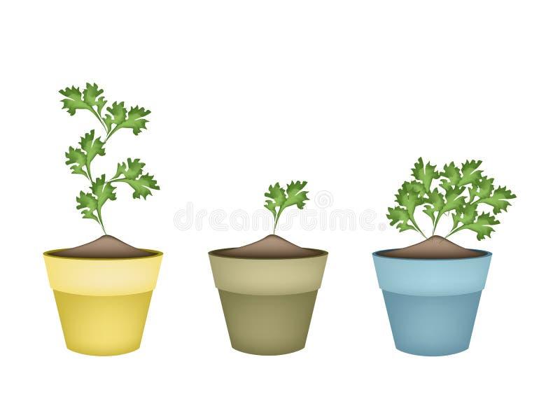 Coriandro verde fresco en macetas de la terracota libre illustration