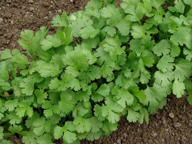 Coriandrum sativum imagen de archivo