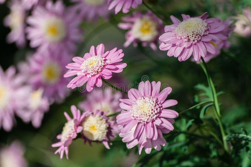 Corianum ChrysanÂthemum, группа в составе розовые цветки с белым и желтым ядром шнурка стоковые изображения