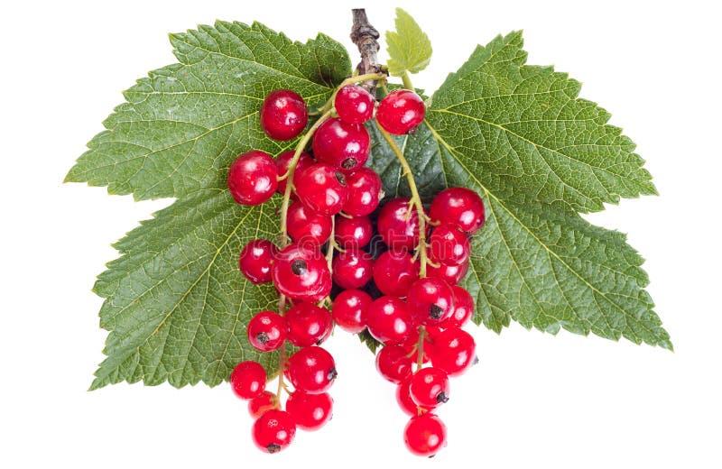 Corinto vermelho maduro com as folhas verdes isoladas no fundo branco imagens de stock royalty free